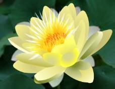 绽放的莲花透明flash素材