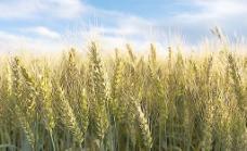 丰收的小麦图片