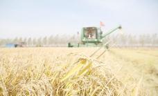 水稻收获图片