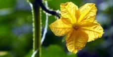 黄瓜花图片