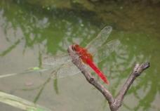 生态家园 红蜻蜓图片