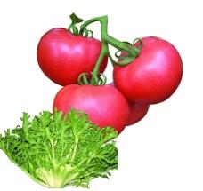 西红柿 苦菊图片