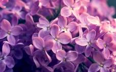 位图 写实花卉 植物 花朵 丁香花 免费素材