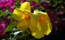 位图 植物图案 花朵 写实花卉 牵牛花 免费素材