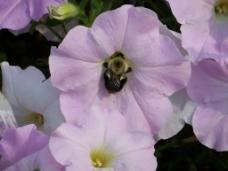 位图 写实花卉 植物 花朵 牵牛花 免费素材