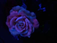 位图 写实花卉 植物 花朵 玫瑰 免费素材
