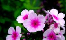 位图 植物图案 写实花卉 花朵 牵牛花 免费素材
