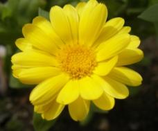 位图 植物摄影 写实花卉 花朵 菊花 免费素材