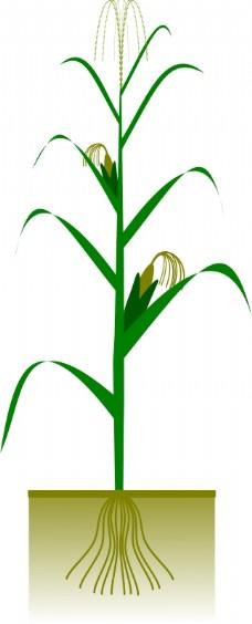 玉米树怎么画简笔画