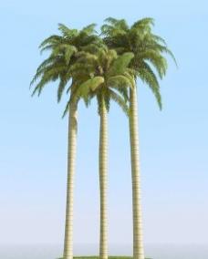 高精细皇家棕榈树 大王椰子树 royal palm 03
