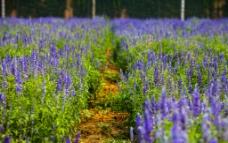 蓝调薰衣草庄园图片
