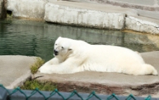 动物园的北极熊图片