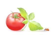 美味的番茄矢量素材