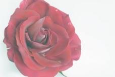 滴鲜红的玫瑰花矢量素材