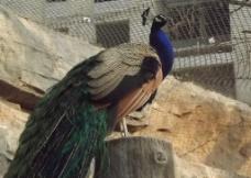 绿孔雀图片