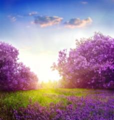高清紫色花海阳光壁纸图片