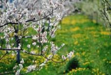 唯美梨花图片