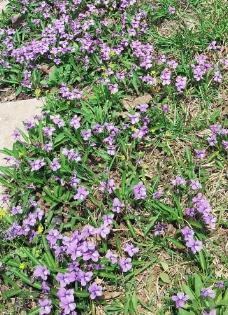 满地的春花图片