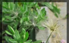 蒲公英 绿色植物图片