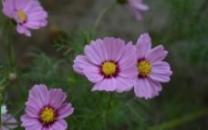 百日菊图片