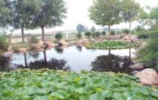 一池碧荷图片