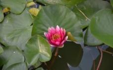 水莲花图片