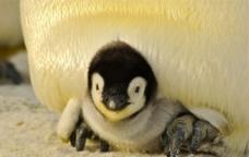 企鹅 婴儿图片
