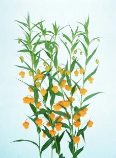 黄灯笼花图片