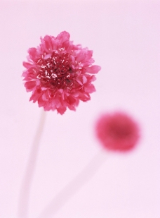球形红花图片