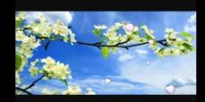 春天梨花盛开视频素材