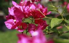 桃红花图片
