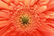 花朵 菊花 黄色菊花 图片