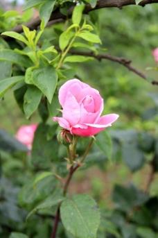 高清玫瑰 特写玫瑰图片