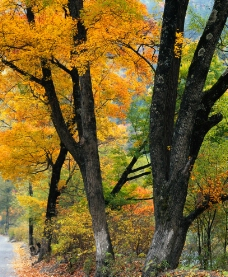 秋天黄叶的老树图片