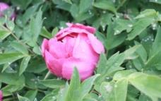 盛开的牡丹花图片