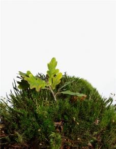 苔藓树叶图片