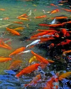 游动的鱼图片