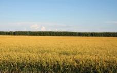 秋天的水稻图片