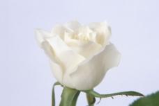 花朵 玫瑰图片
