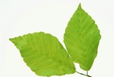 绿叶 特写绿色叶子 特图片